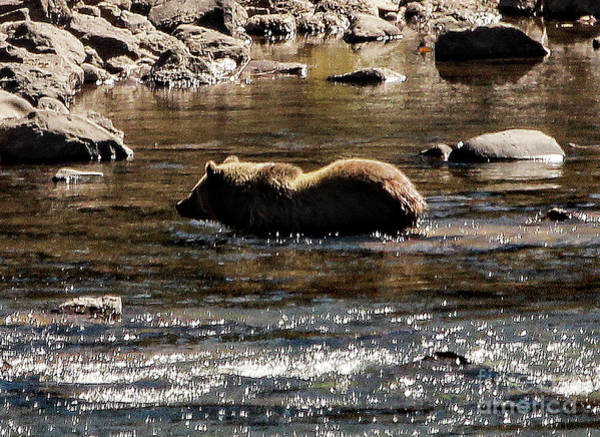 Photograph - Grizzly Streaming by Frank Vargo