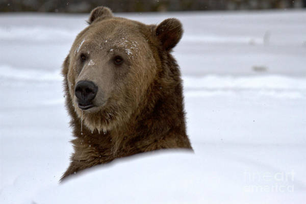 Photograph - Grizzly Winter Drool by Adam Jewell