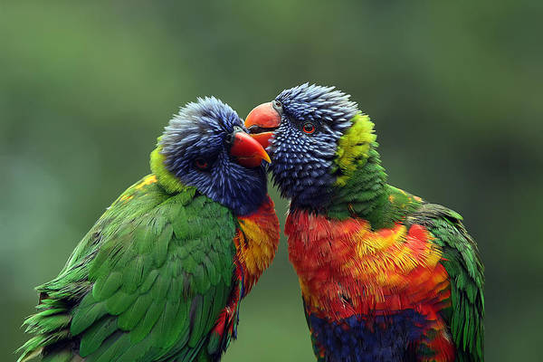 Rainbow Lorikeet Photograph - Grooming In The Rain by Lesley Smitheringale