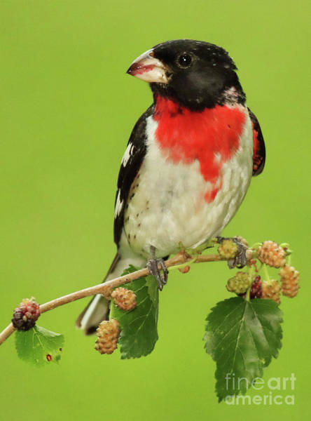 Wall Art - Photograph - Grosbeak With Mulberry-stained Beak by Max Allen