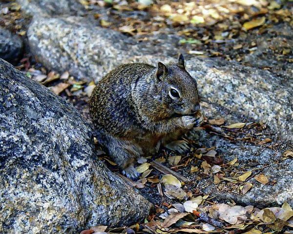Photograph - Ground Squirrel by Anthony Dezenzio