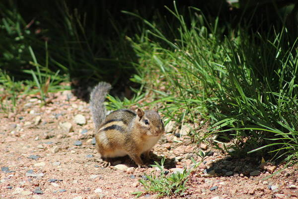Photograph - Ground Squirrel At Chicago Botanical Garden by Colleen Cornelius