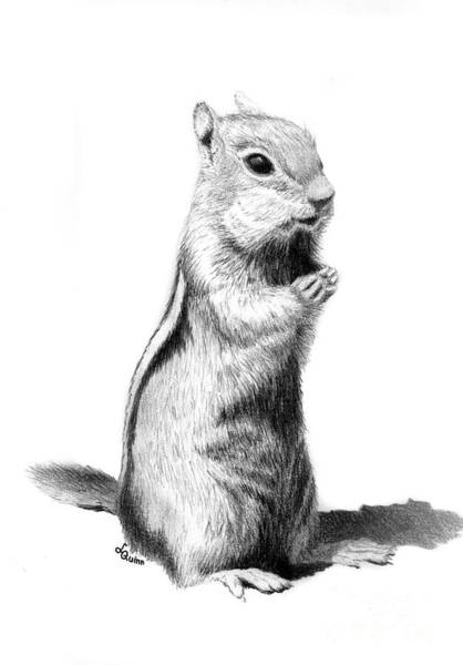 Drawing - Ground Squirrel by Lynn Quinn