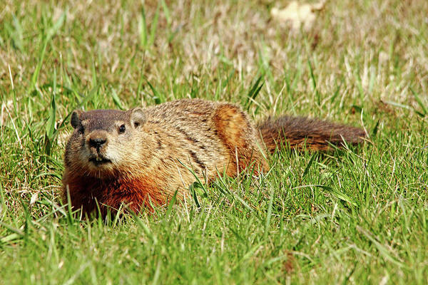Marmot Photograph - Groundhog In The Grass by Debbie Oppermann