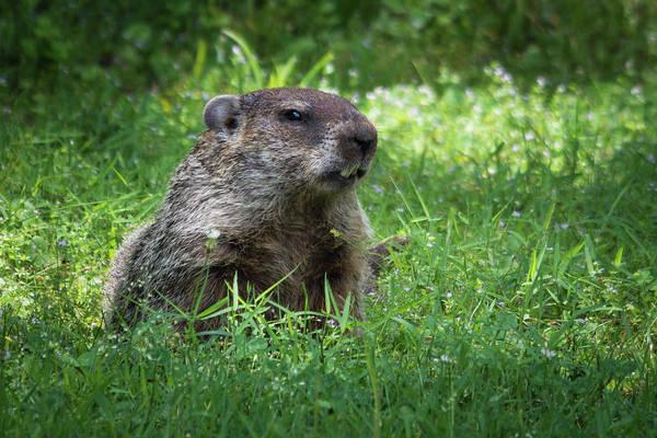 Photograph - Groundhog Posing  by John Benedict