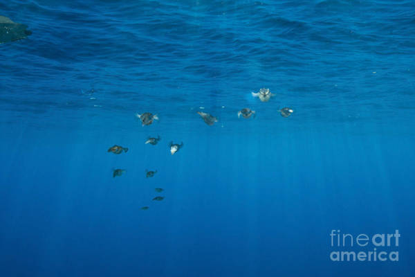 Bigfin Reef Squid Photograph - Group Of Bigfin Reef Squid With Sharp by Mathieu Meur