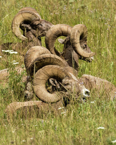 Wall Art - Photograph - Group Of Bighorn Sheep by John Trax