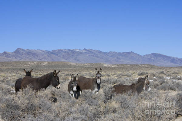 Equus Africanus Photograph - Group Of Burros In Nevada by Jean-Louis Klein & Marie-Luce Hubert