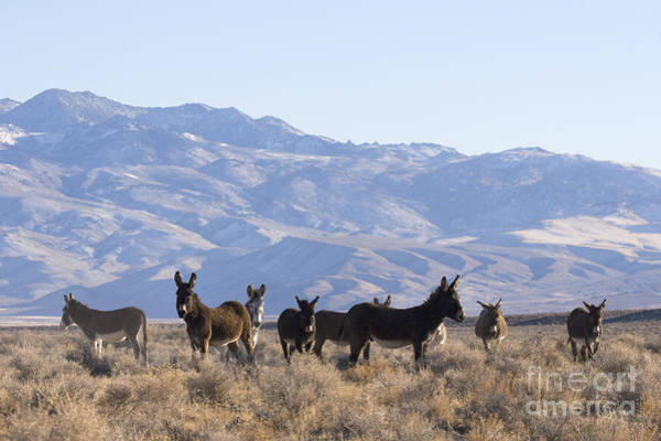 Equus Africanus Photograph - Group Of Burros by Jean-Louis Klein & Marie-Luce Hubert