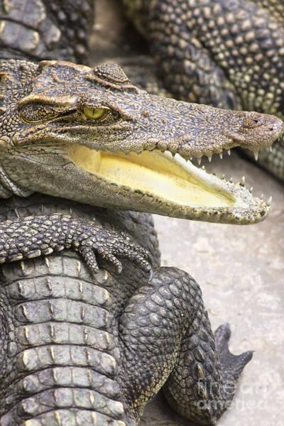 Animal Behaviour Photograph - Group Of Crocodiles by Jorgo Photography - Wall Art Gallery
