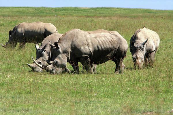 Photograph - Group Of White Rhino by Aidan Moran