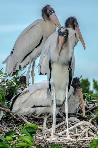 Photograph - Group Of Young White Storks by Wolfgang Stocker