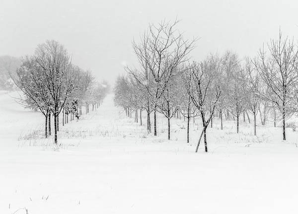 Photograph - Grove Of Trees In A Snow Storm by Pete Hendley