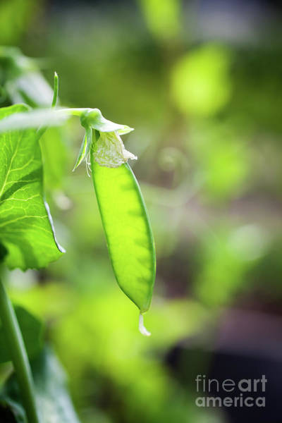 Wall Art - Photograph - Growing Green Peas by Kati Finell