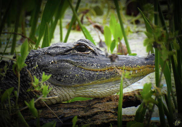 Photograph - Growing Up Gator, No. 43 by Elie Wolf