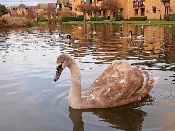 Photograph - Growing Up On The River - Juvenile Mute Swan by Gill Billington