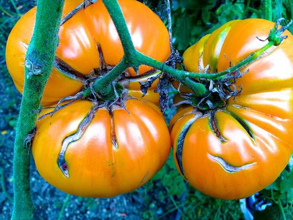 Photograph - Growing Yellow Beefsteak Tomatoes by Polly Castor