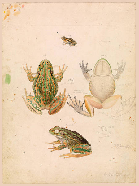 Growling Wall Art - Drawing - Growling Grass Frog. Litoria Raniformis by Arthur Bartholomew