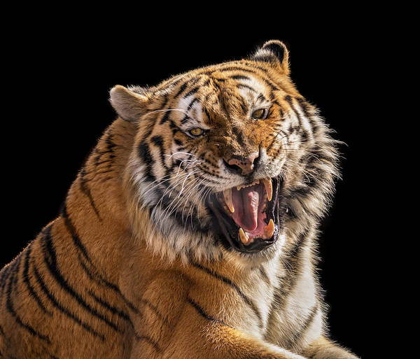 Growling Wall Art - Photograph - Growling Tiger by Pat Eisenberger