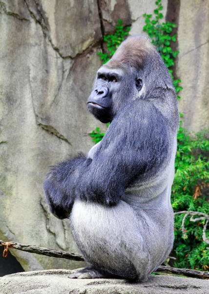 Nfs Photograph - Grumpy Gorilla by Daniel Caracappa