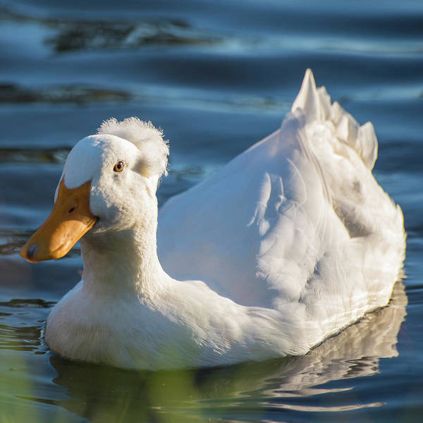 Photograph - Grumpy Old Duck by Toby McGuire