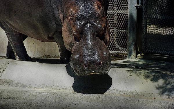 Photograph - Grumpy Rhino by Maria Reverberi