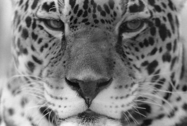 Grumpy Tiger  Art Print
