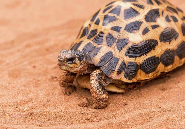 Photograph - Grumpy Tortoise by Alex Lapidus