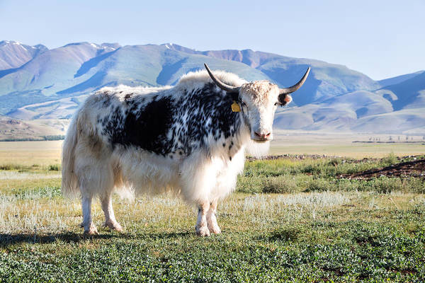Photograph - Grunting Ox In Altai Prairie by Victor Kovchin