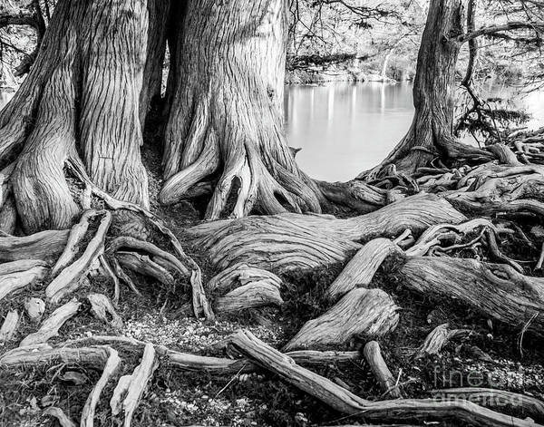 Wall Art - Photograph - Guadalupe Bald Cypress In Black And White by Michael Tidwell