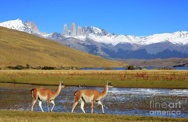 Wall Art - Photograph - Guanacos At Laguna Azul Patagonia Chile by Louise Heusinkveld