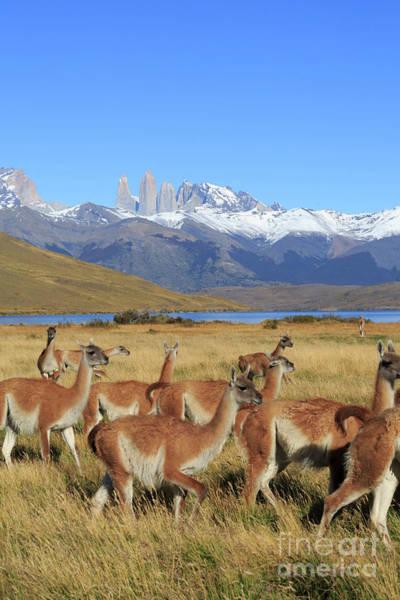 Wall Art - Photograph - Guanacos Lama Guanicoe In Patagonia by Louise Heusinkveld