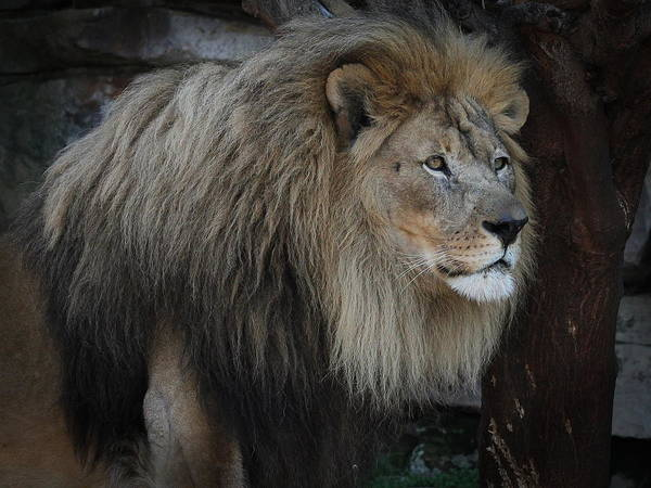 Photograph - Guard Duty - Lion by Debi Dalio
