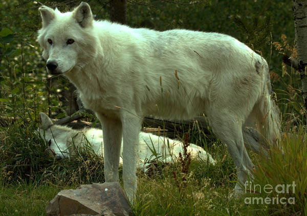 Alpha Wolf Wall Art - Photograph - Guardian Of The Pack by Adam Jewell