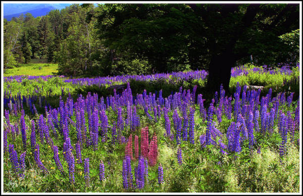 Photograph - Guardian Of The Lupine by Wayne King