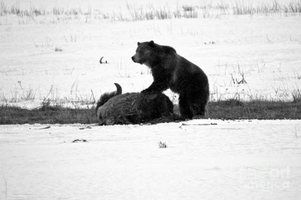 Photograph - Guarding The Carcass Yellowstone Grizzly 2018 Black And White by Adam Jewell