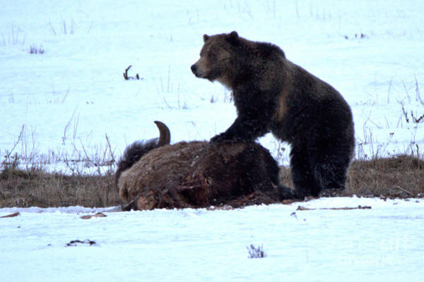 Photograph - Guarding The Carcass - Yellowstone Grizzly 2018 Crop by Adam Jewell