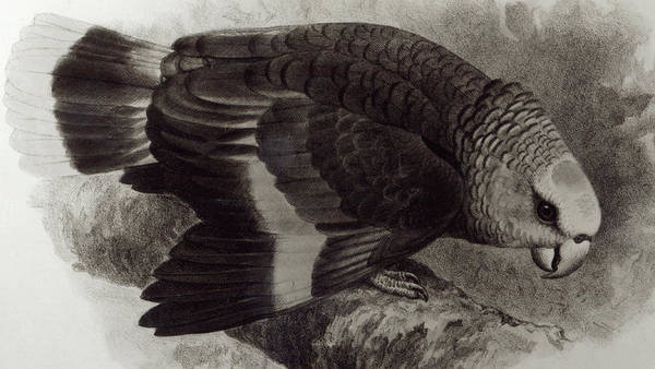 Avian Drawing - Guilding's Amazon Parrot,  by English School