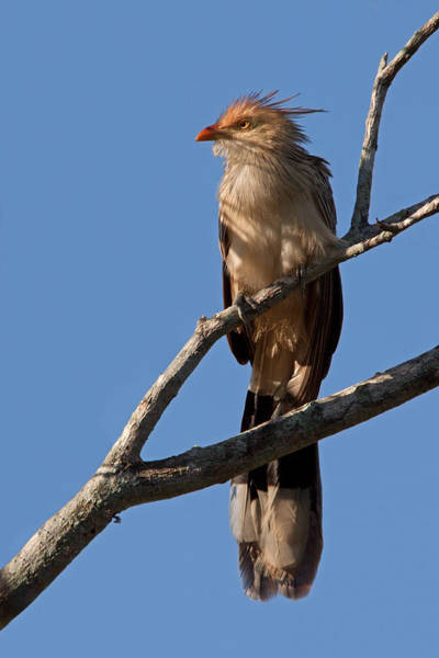 Photograph - Guira Cuckoo  by Aivar Mikko
