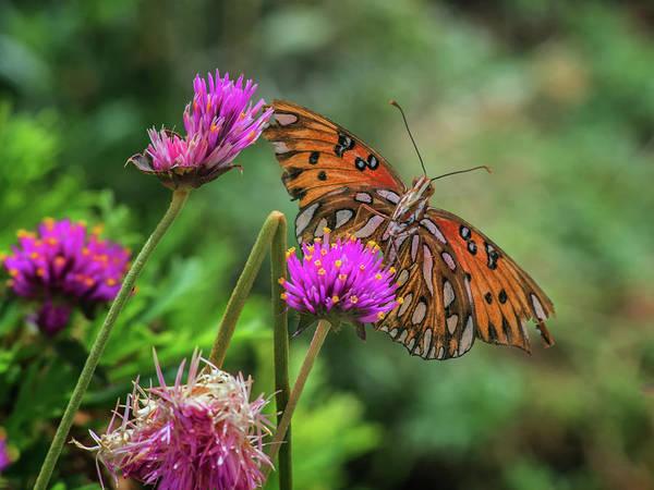 Photograph - Gulf Fritillary Butterfly 7639-101417-1cr by Tam Ryan