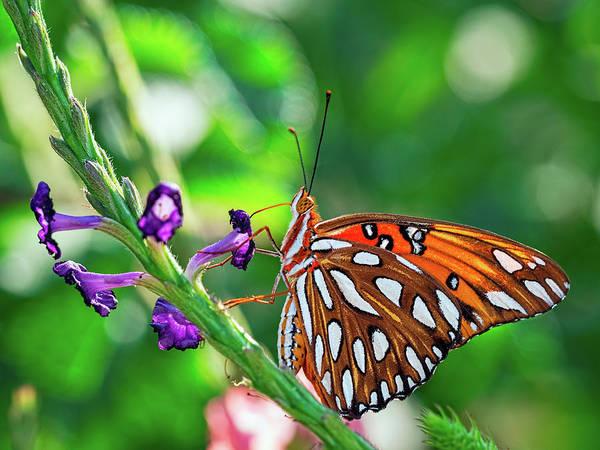 Photograph - Gulf Fritillary Butterfly by Brad Boland
