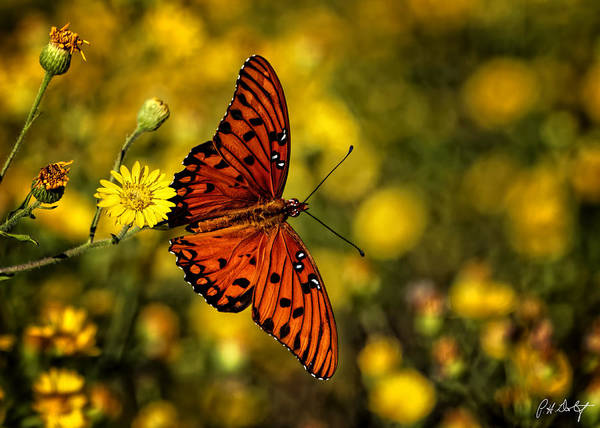 Agraulis Vanillae Photograph - Gulf Fritillary Butterfly by Phill Doherty