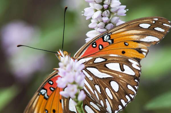 Photograph - Gulf Fritillary Butterfly by Robert Potts