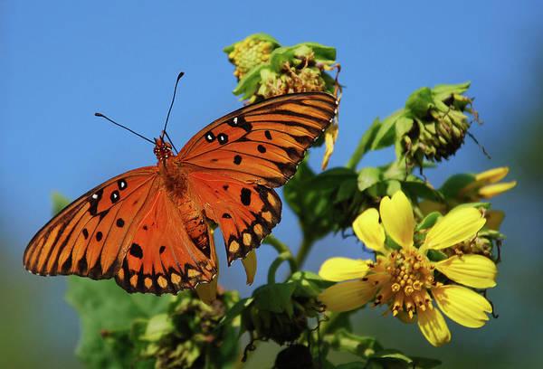 Gulf Fritillary Wall Art - Photograph - Gulf Fritillary Butterfly by Skip Willits
