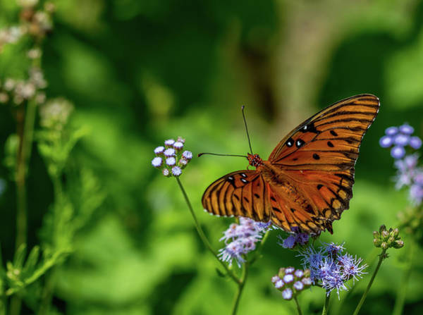 Photograph - Gulf Fritillary Butterfly by Susie Weaver
