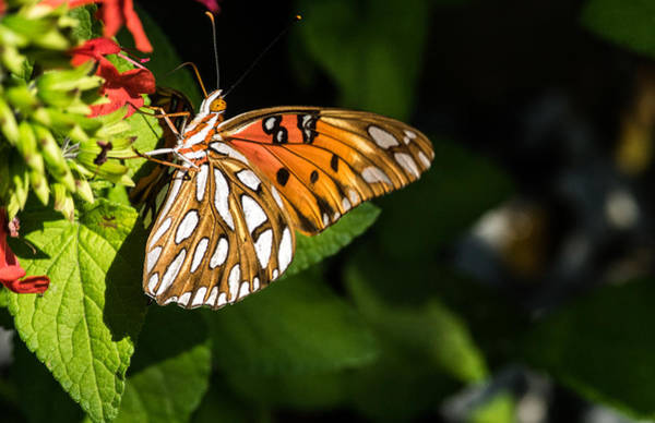 Wall Art - Photograph - Gulf Fritillary Feeding by Douglas Barnett