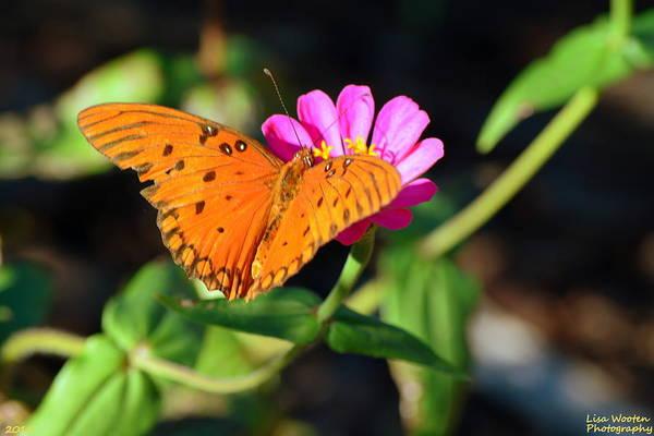 Photograph - Gulf Fritillary by Lisa Wooten