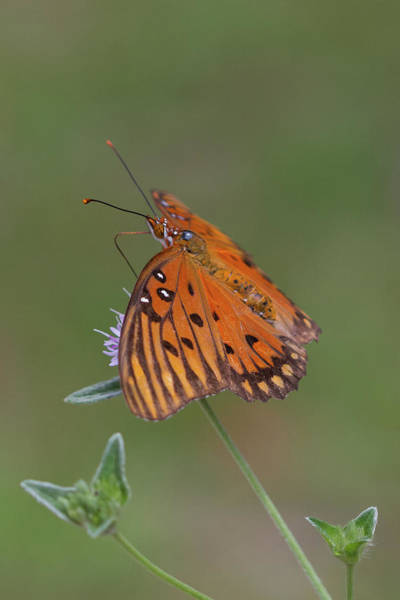 Photograph - Gulf Fritillary On Elephantsfoot #2 by Paul Rebmann