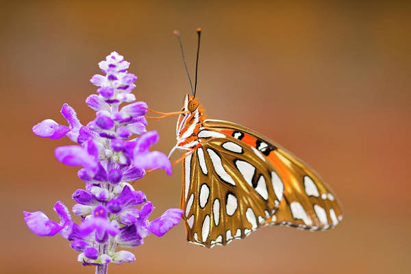 Photograph - Gulf Fritillary by Shelley Neff