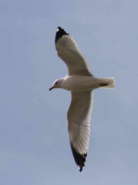 Photograph - Gull 1 by David Dunham